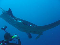 Diver and manta at Xstacy reef dsc04449.jpg