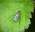 Dolichopodidae (41929029190).jpg