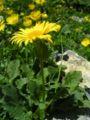 Doronicum grandiflorum SaE.jpg