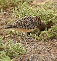 Double-banded Courser (Rhinoptilus africanus) scratching its head ... (32185651404).jpg