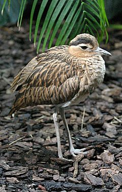 Double-striped Thick-knee.jpg