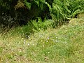 Drifts of harebells line the path - geograph.org.uk - 912375.jpg