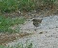 Drozd pevač jede puža (Turdus philomelos ); Song Thrush.jpg
