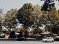Drveće u parku Svetog Save u Nišu (10).jpg