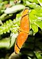 Dryas iulia Naturospace Honfleur -7205.jpg