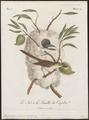 Drymoica maculosa - 1796-1808 - Print - Iconographia Zoologica - Special Collections University of Amsterdam - UBA01 IZ16200023.tif