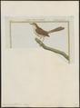 Drymoica subflava - 1700-1880 - Print - Iconographia Zoologica - Special Collections University of Amsterdam - UBA01 IZ16200027.tif