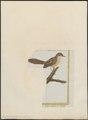 Drymoica undata - 1700-1880 - Print - Iconographia Zoologica - Special Collections University of Amsterdam - UBA01 IZ16200035.tif