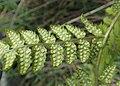 Dryopteris carthusiana kz01.jpg