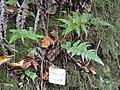 Dryopteris erythrosora - Miyajima Natural Botanical Garden - DSC02304.JPG