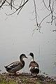 Duck Pair - Santragachi Jheel - Howrah 2017-12-25 5720.JPG