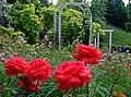 Duftende Schönheit, der Rosengarten im Kurpark Bad Mergentheim. 06.jpg