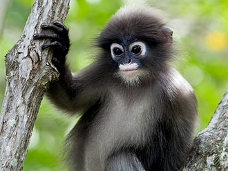 Lutung - Dusky leaf monkey (Trachypithecus obscurus)