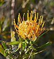 Dwarf Pincushion (Leucospermum gerrardii) (32731494991).jpg