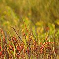 Dwarf Saltwort - Flickr - treegrow (5).jpg
