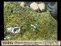 ETH-BIB-Chrysanthemum alpinum oberhalb Fex-Curtins-Dia 247-14922.tif