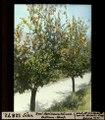 ETH-BIB-Sion, zwei Aprikosenbäume Château-Neuf-Dia 247-12872.tif