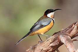 Eastern Spinebill442.jpg