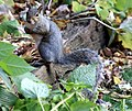 Eastern gray squirrel (Sciurus carolinensis) MN.jpg