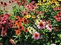 Echinacea (28808475115).jpg