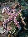 Echinaster callosus (Starfish).jpg