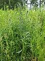 Echium vulgare Żmijowiec zwyczajny 2020-06-07 02.jpg