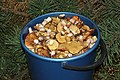 Edible fungi in bucket 2015 G2.jpg
