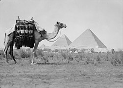 Egypt. Pyramids of Gizeh. The Three Pyramds with camel in close foreground LOC matpc.17952.jpg