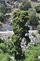 Eichenbaum auf Korsika.jpg