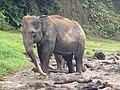 Elephant Tangkahan (Namu Sialang).jpg