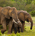 Elephants - family.jpg