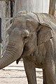 Elephas maximus - 04.jpg