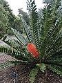 Encephalartos ferox female.jpg