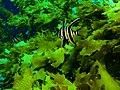 Enoplosus armatus Old wife PC280369.JPG