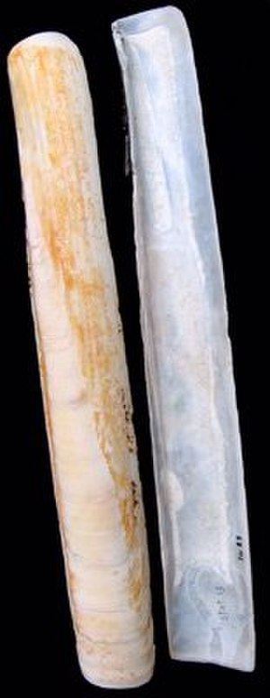 Pod razor - Image: Ensis siliqua V