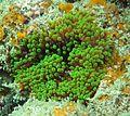 Entacmaea quadricolor verde.jpg