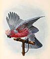 Eolophus roseicapilla 1876.jpg