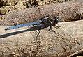 Epaulet Skimmer male. Orthetrum chryostigma (32761764826).jpg