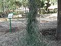 Ephedra ciliata-2-jodhpur-India.JPG