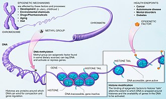 Epigenetics - Epigenetic mechanisms