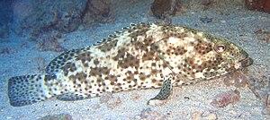 Camouflage grouper - Image: Epinephelus polyphekadion 5