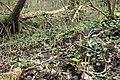 Equisetum pratense kz15.jpg