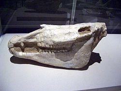 埃氏馬的頭顱骨