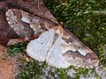 Erannis defoliaria - male 02 (HS).jpg