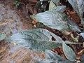 Eranthemum capense at Nedumpoil (5).jpg