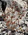 Eriogonum nidularium 4.jpg