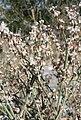 Eriogonum panamintense 12.jpg