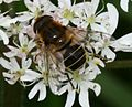 Eristalis nemorum (female) - Flickr - S. Rae (6).jpg