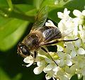 Eristalis tenax - Flickr - gailhampshire (7).jpg