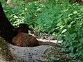 Erlenbach Bergtierpark Lamm Kamerunschaf.JPG